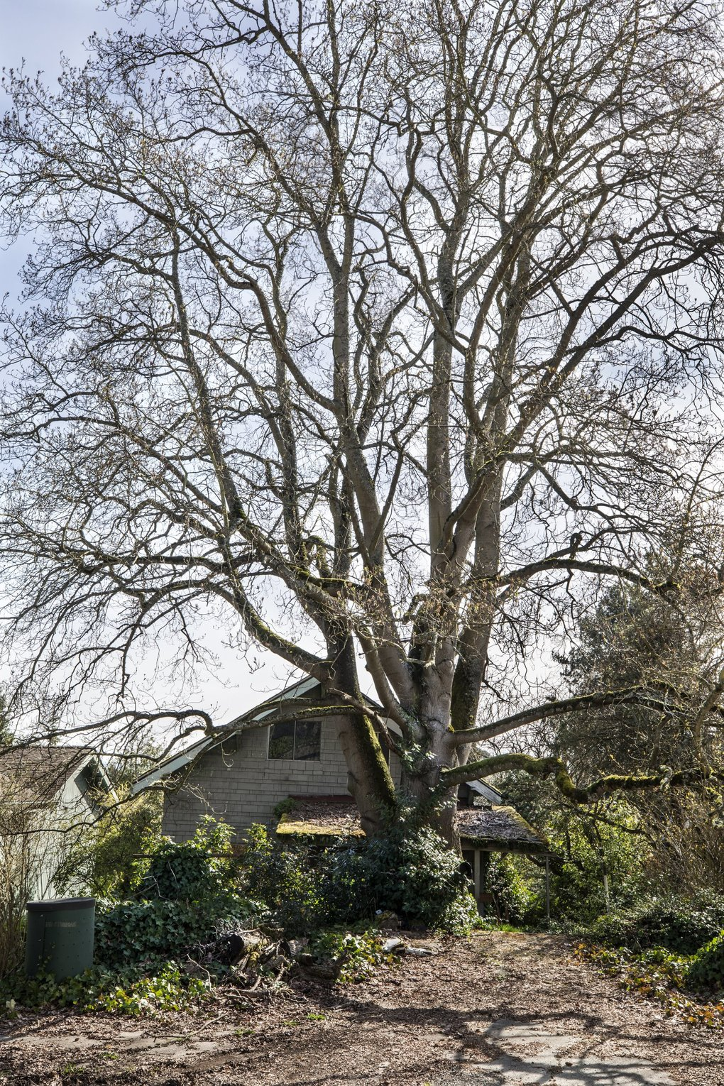 "This tulip tree that Queen Anne neighbors are trying to save is nearly 90 feet tall, with a diameter of 44 inches. That classifies it as ""exceptional"" by city code. (Steve Ringman / The Seattle Times)"