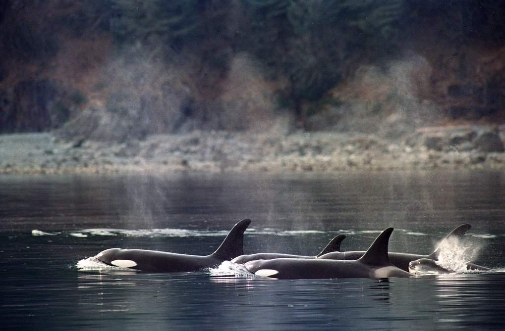 Whales likely inhaled petroleum vapors and may have eaten contaminated prey. Fourteen whales in a resident killer whale pod disappeared between 1989 and 1990. (John Gaps III / Associated Press)