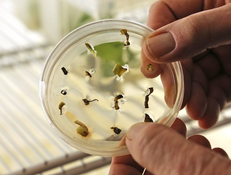 Ivy cuttings are placed in a petri dish of broth containing bacteria and rabbit DNA to infuse a protein into the plant. The cuttings will grow into adult plants. (Greg Gilbert / The Seattle Times)