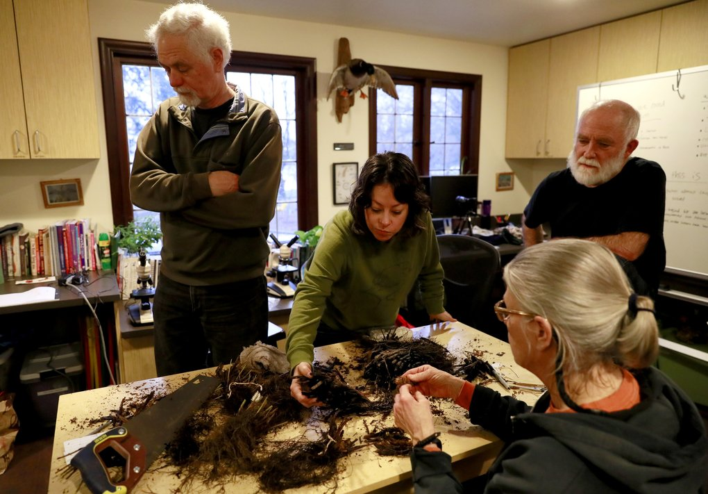 From left, facing the camera, David Perasso, Irene Munger and Paul Shannon confer with retired botanist Shelley Evans, who joined them at the Seward Park Audubon Center. They were trying to determine ferns' ages by examining underground stems called rhizomes. It didn't work. (Erika Schultz / The Seattle Times)