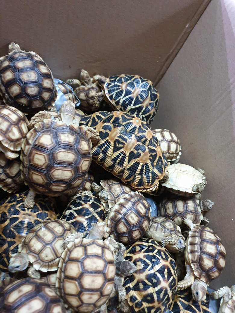 In this March 3, 2019, handout photo provided by the Bureau of Customs Public Information Office, turtles are piled inside a box as they are presented to reporters in Manila, Philippines. Philippine authorities said that they found more than 1,500 live exotic turtles stuffed inside luggage at Manila's airport. The various types of turtles were found Sunday inside four pieces of left-behind luggage of a Filipino passenger arriving at Ninoy Aquino International Airport on a Philippine Airlines flight from Hong Kong, Customs officials said in a statement. (Bureau of Customs via AP)