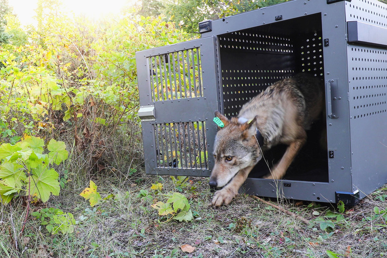A 4-year-old female gray wolf is released at Isle Royale National Park in Michigan on Sept. 26, 2018. U.S. wildlife officials plan to lift protections for gray wolves across the Lower 48 states, a move certain to re-ignite the legal battle over a predator that's rebounding in some regions and running into conflicts with farmers and ranchers, an official told The Associated Press. (National Park Service via AP, File)