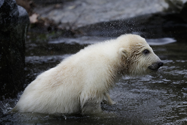 A female polar bear baby stand in the water at its enclosure at the Tierpark zoo in Berlin, Friday, March 15, 2019. The still unnamed bear, born Dec. 1, 2018 at the Tierpark, is presented to the public for the first time. (AP Photo/Markus Schreiber)