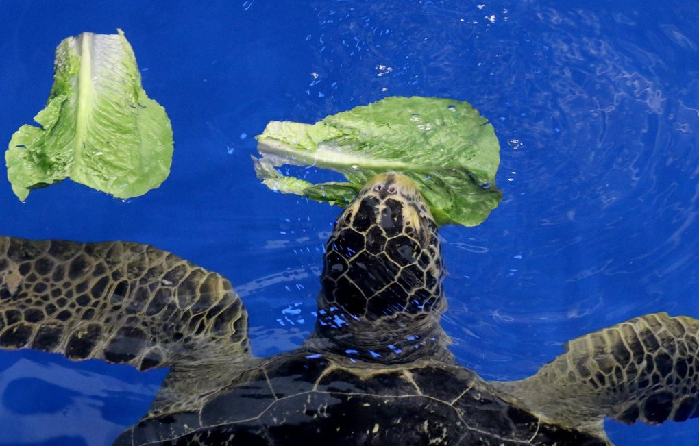 Romaine lettuce is a favorite of Sunny's as he swims in the training pool before returning to the 280,000 gallon Baja Bay exhibit Tuesday April 2. (Alan Berner / The Seattle Times)