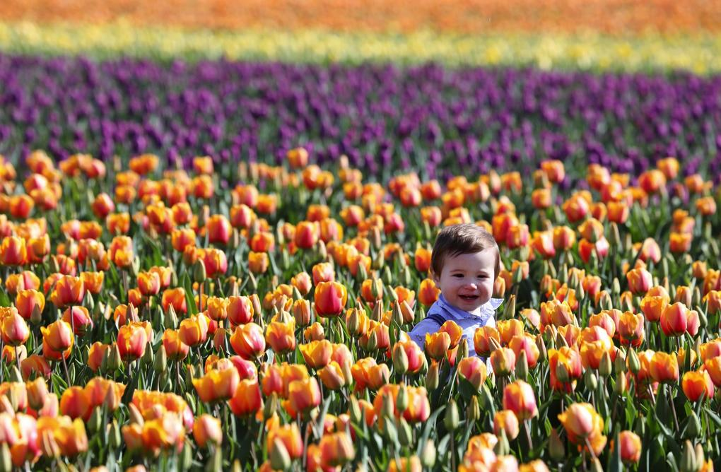 10-month-old Locke Loree, of Sedro-Woolley, is head-and-shoulders above the tulips at RoozenGaarde in the Skagit Valley on Tuesday, April 9. The annual Skagit Valley Tulip Festival is in full swing. (Ken Lambert / The Seattle Times)