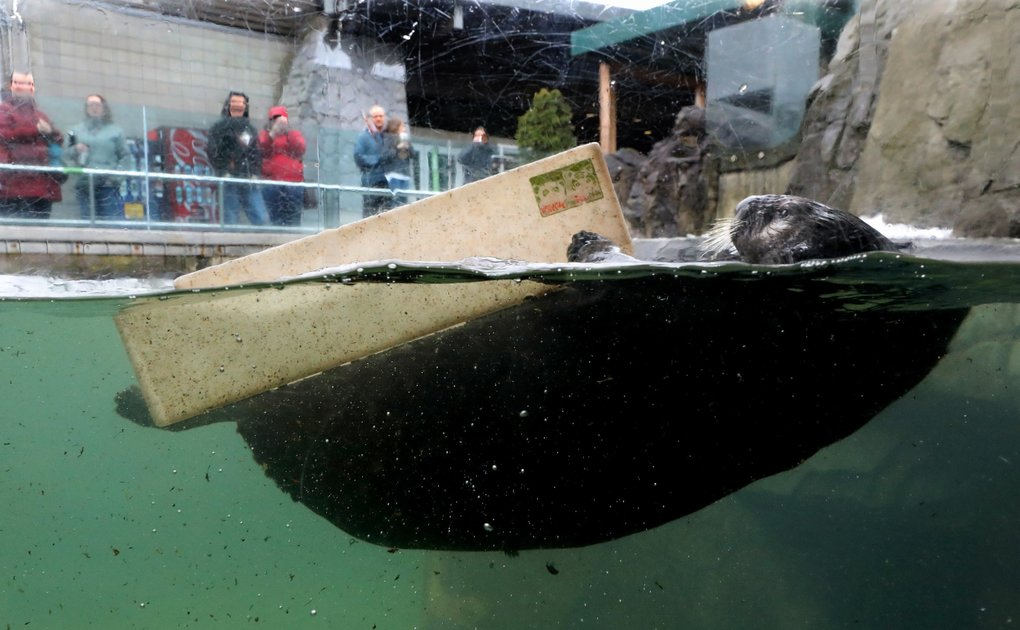 Simple pleasures provide endless entertainment for Rialto in the 10,000-gallon pool he shares with two other rescued sea otters. (Alan Berner / The Seattle Times)