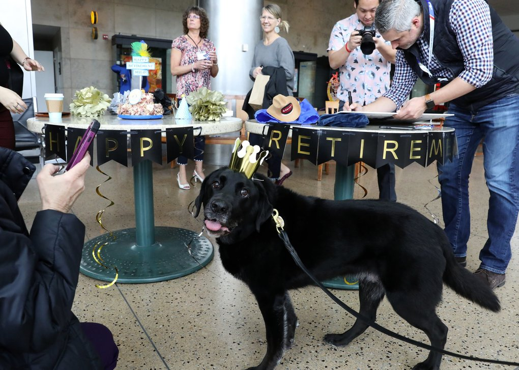 While some signed his giant card, Port of Seattle Police K9 Milo, 9, visits at his retirement party Wednesday at Sea-Tac Airport.   (Ken Lambert / The Seattle Times)