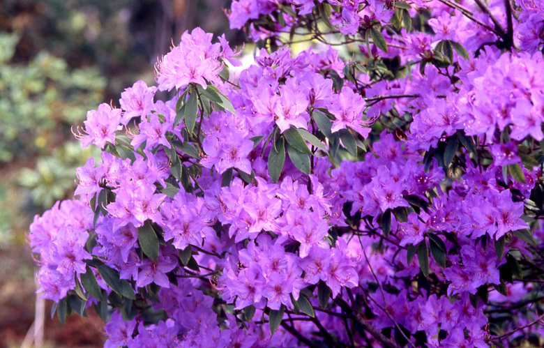 There are more than 1,000 species of rhododendrons. (Courtesy Rhododendron Species Foundation)