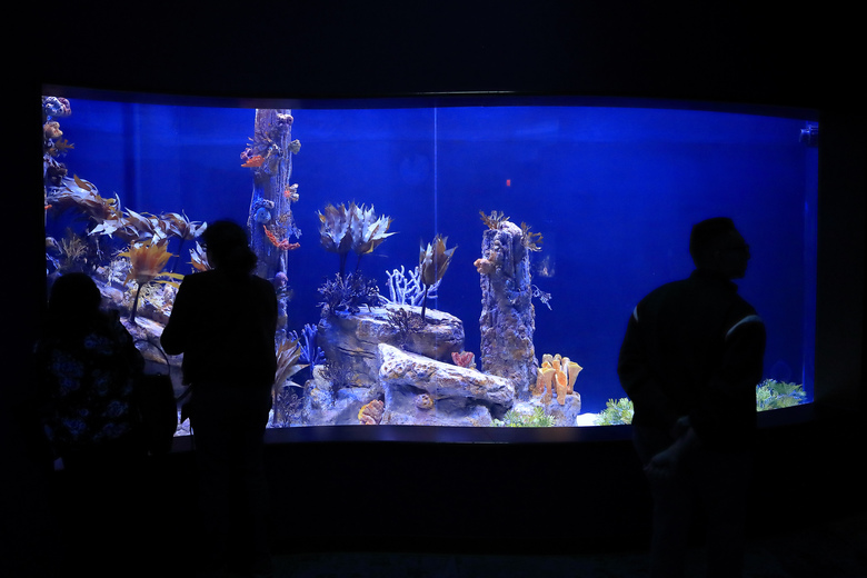 Visitors look at a tank holding sea dragons at the Birch Aquarium at the Scripps Institution of Oceanography at the University of California San Diego in San Diego. The Southern California aquarium has built what is believed to be one of the world's largest habitats for the surreal and mythical sea dragons outside Australia, where the native populations are threatened by pollution, warming oceans and the illegal pet and alternative medicine trades. (AP Photo/Gregory Bull)