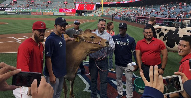 Jared Walsh defeated Yusei Kikuchi and Shed Long in the cow milking contest on Dairy Night, a 44-year Los Angeles Angels tradition. (Ryan Divish / The Seattle Times)