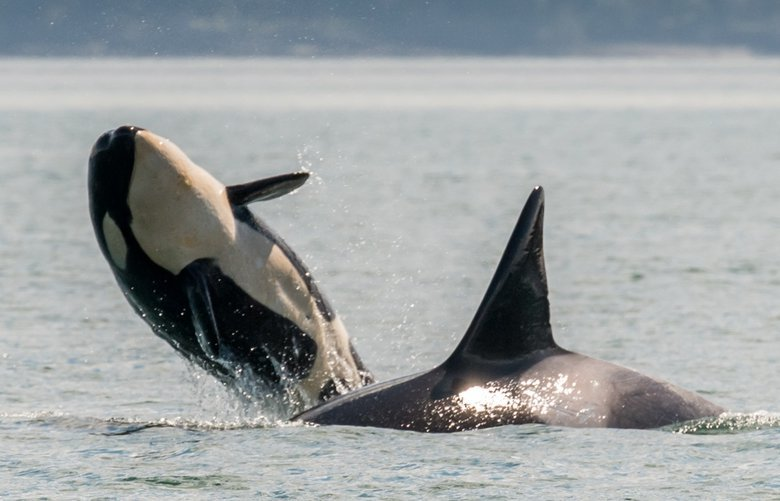Bigg's orca calf T124A3A, born in early 2019 to 13 year old mom, T124A3. April 23rd, 2019 off Waldron Island.
