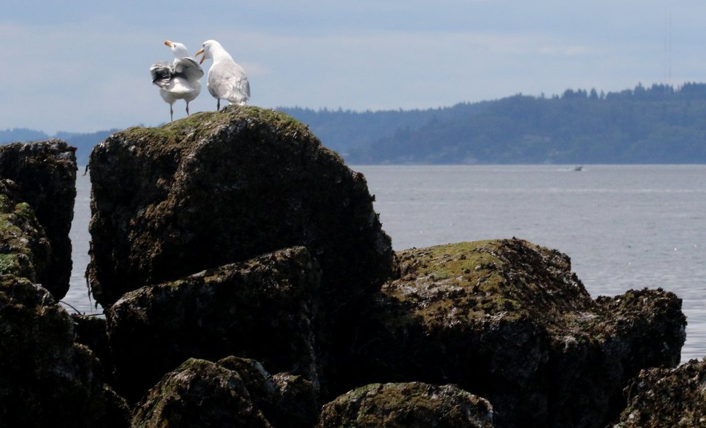 You talking to me?  A seagull squawks to another sharing the same rock at Constellation Park Marine Reserve. (Alan Berner / The Seattle Times)