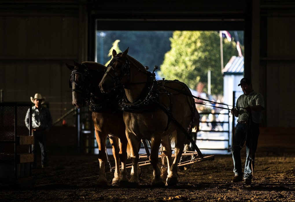 Clydesdale owners ready their horses for a weight-pulling contest at the Evergreen State Fair in Monroe on Monday, Aug. 26. (Rebekah Welch / The Seattle Times)