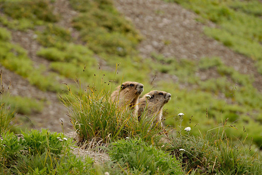 Olympic marmots, the largest species of North American marmot, were spotted by the author from a trail near Hurricane Ridge in Olympic National Park. (Courtesy of Jeff Layton)