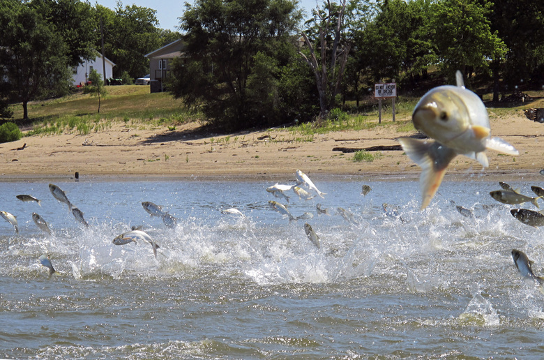 FILE – In this June 13, 2012, file photo, Asian carp, jolted by an electric current from a research boat, jump from the Illinois River near Havana, Ill. A newly released study says if Asian carp reach Lake Michigan, they probably would find enough food to spread far and wide. Some experts have questioned whether there's enough plankton in the lake to sustain the invasive carp away from shoreline areas. But the new report released Monday, Aug. 12, 2019, by University of Michigan scientists says despite a drop-off of plankton caused by exotic mussels, the voracious carp could feed on other organic material when venturing into deeper waters.  (AP Photo/John Flesher, File)