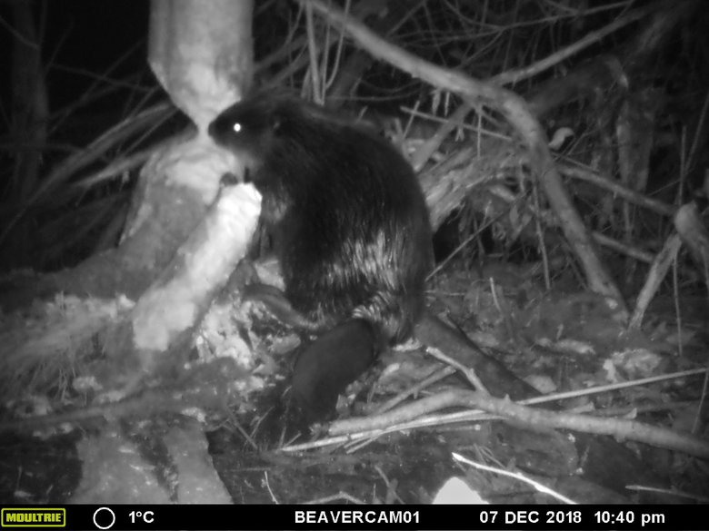 Beavers are making a comeback in the Elwha, which benefits juvenile salmon that thrive in the pools behind their dams.