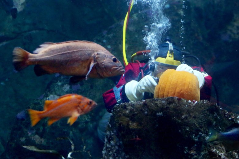 Staff diver Nicole Killebrew carves a pumpkin underwater at the Seattle Aquarium. This year's Aquarium Halloween runs Oct. 26-27. (Alan Berner / The Seattle Times)