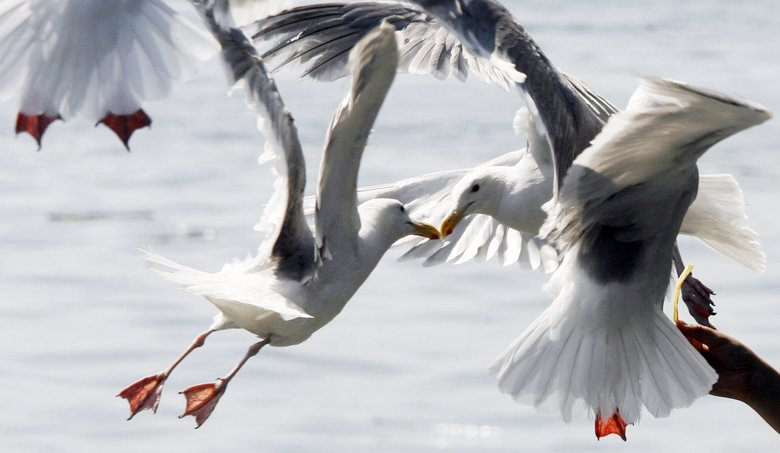 Gulls compete for a French fry just north of Colman Dock on the Seattle waterfront. (Alan Berner / The Seattle Times)