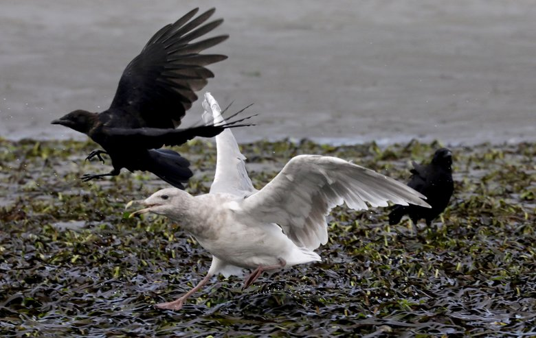 At low tide at Alki Beach, a gull sends another bird on its way after it got too close during feeding. (Alan Berner / The Seattle Times)