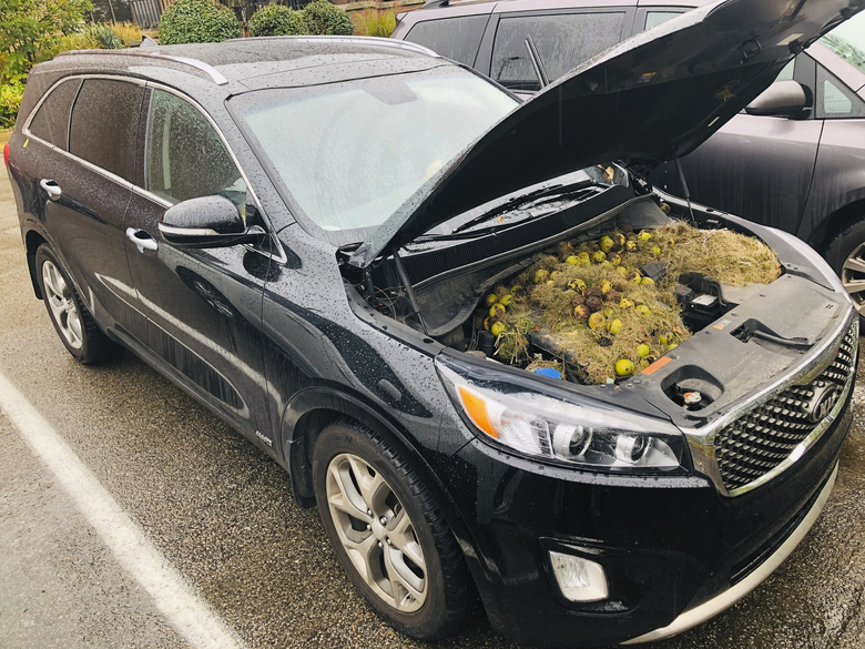 This Monday, Oct. 7, 2019, photo provided by Chris Persic shows walnuts and grass under the hood of his family's SUV, in the Pittsburgh area. It turns out squirrels stored more than 200 walnuts under the hood of the car. Persic's wife, Holly, discovered the walnuts and grass when she popped the hood after going to start the car and the vehicle smelled like it was burning. (Chris Persic via AP)