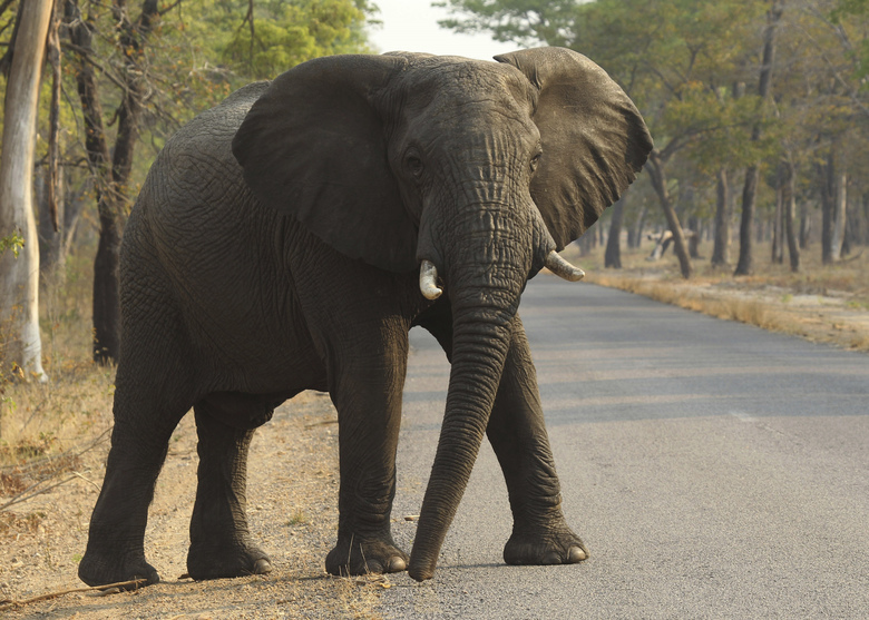 FILE – In this Oct. 1, 2015, file photo, an elephant crosses a road at a national park in Hwange, Zimbabwe. At least 55 elephants have starved to death in the past two months in Zimbabwe's biggest national park as a serious drought forces animals to stray into nearby communities in search of food and water, authorities said Monday Oct. 21, 2019. (AP Photo/Tsvangirayi Mukwazhi, File)