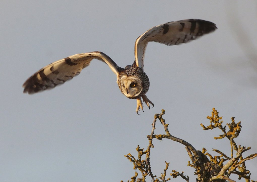 A Short-eared owl takes flight as it hunts rodents in the fields along Eide Road near Stanwood in this 2014 file photo.   (Mark Harrison / The Seattle Times)