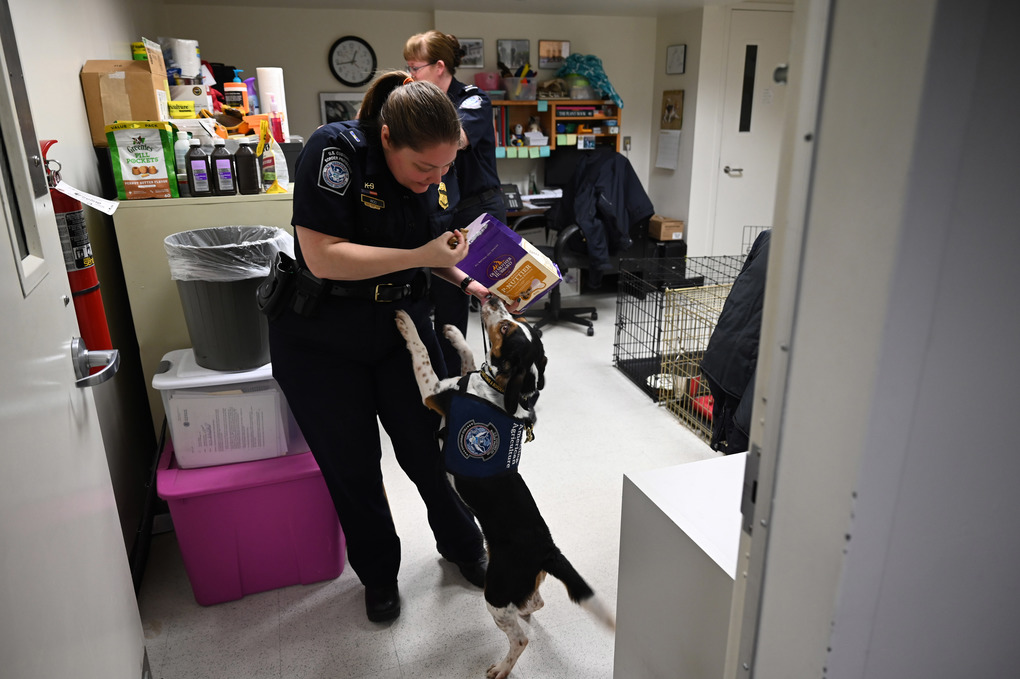 Phillip, a beagle, waits to get a treat from his handler, Valerie Woo a Customs and Border Patrol Agriculture Specialist and Canine Handler, at the international arrivals terminal at Dulles International Airport. (Washington Post photo by Michael Robinson Chavez)