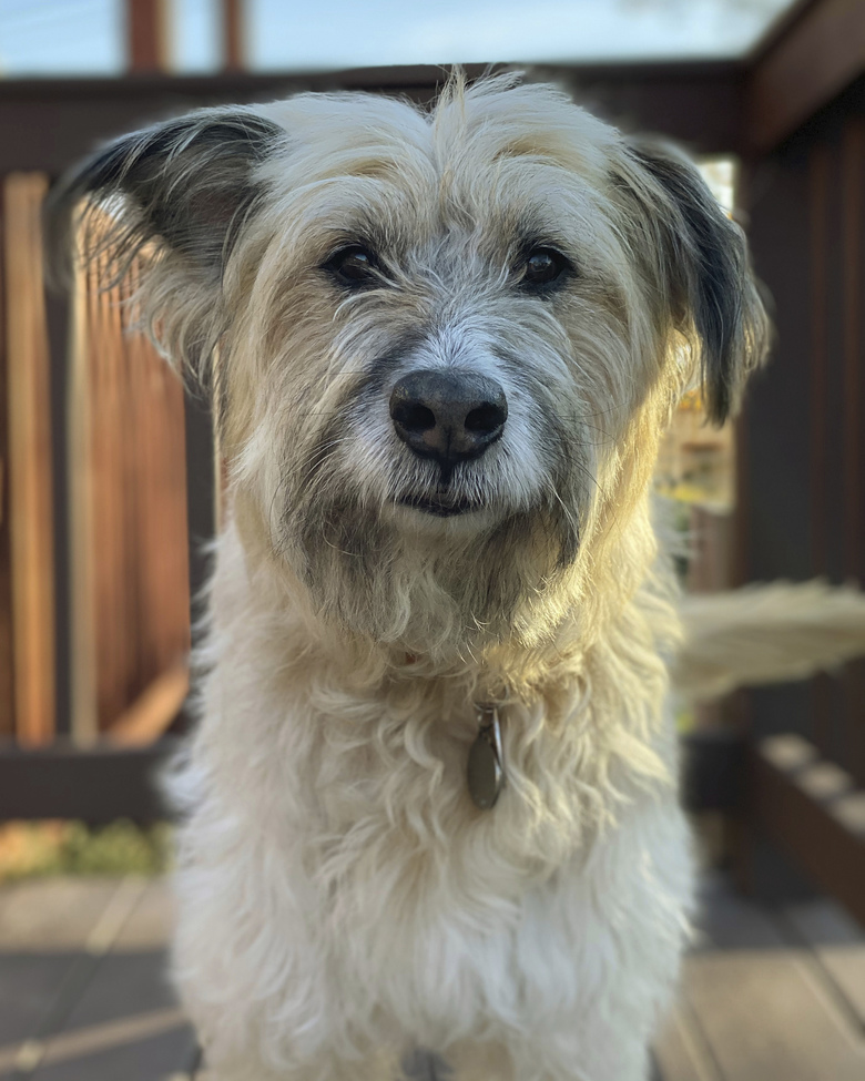 """Leslie Lambert's 11-year-old rescue dog, Oscar. Lambert of Parkville, Md., enrolled him in an early phase of the Dog Aging Project. """"I would selfishly like to have him around forever,"""" said the 33-year-old veterinarian. """"Unfortunately, he ages much, much faster than I do."""" (Leslie Lambert via AP)"""