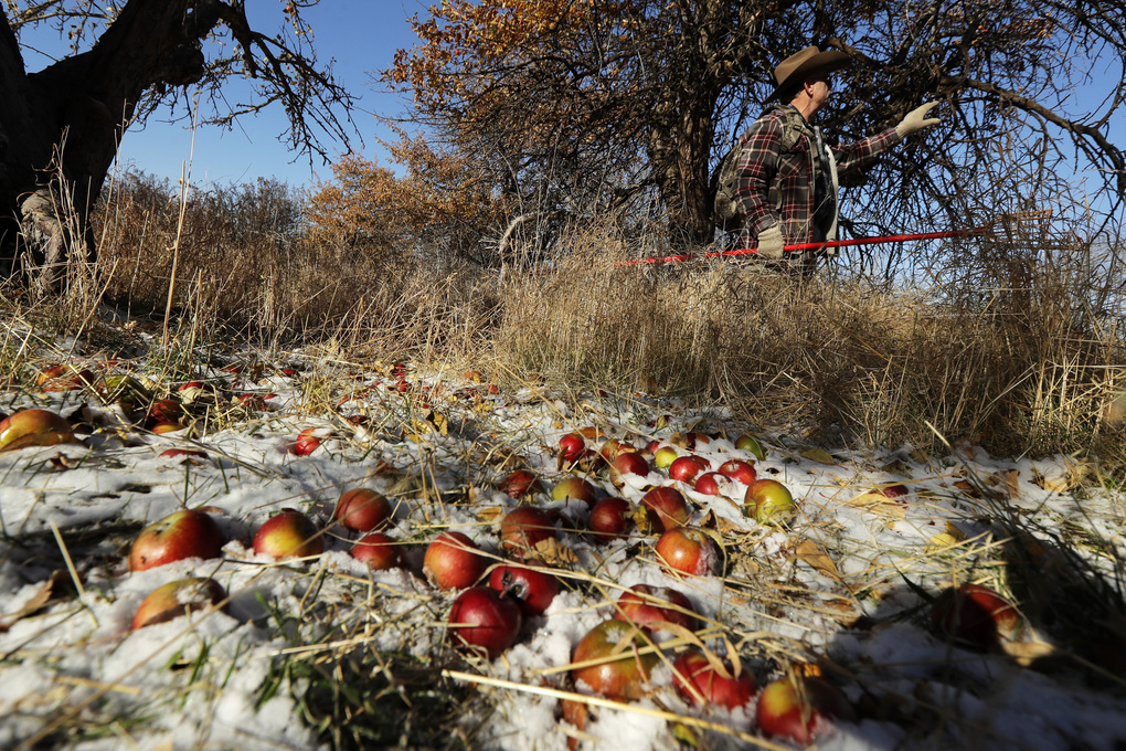 Amateur botanist E.J. Brandt, of The Lost Apple Project, examines an apple tree in an orchard near Moscow, Idaho, on Oct. 29. (Ted S. Warren / The Associated Press)