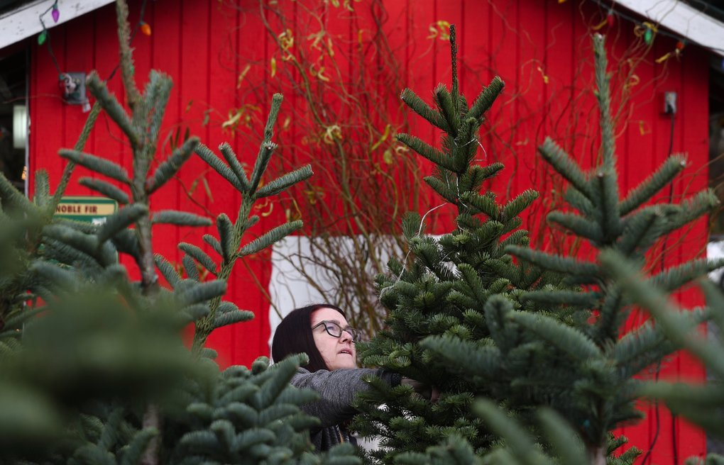 Sarah Clemons is on a search at Hunter Tree Farm's Christmas tree stand in Seattle's Wedgwood neighborhood Sunday. The Seattleite who is 5'2″ said she needs a tree slightly taller than herself because her family has a large star and low ceiling.  (Ken Lambert / The Seattle Times)