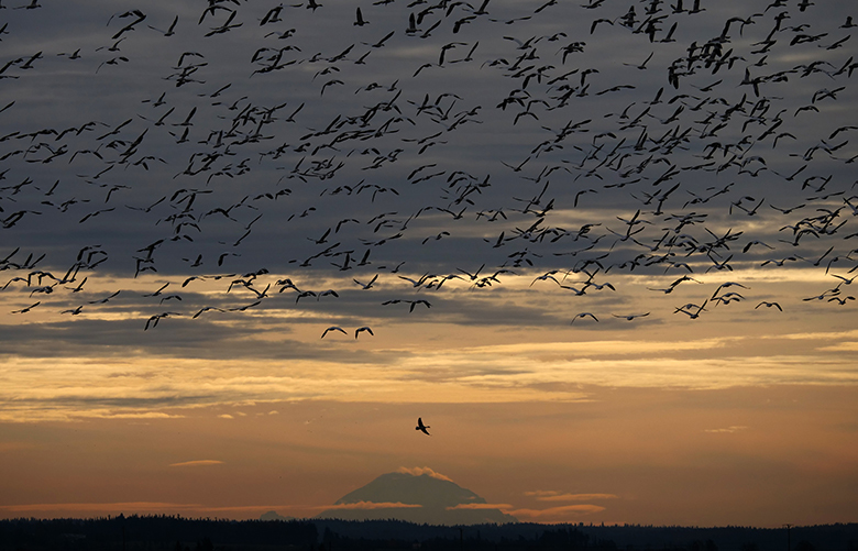 """READER'S LENS – ONE TIME USE ONLY    Photographer: Brad Coffin  Photo taken:November 11, 2019, on Hayton Island/Fir Island Farm/ Skagit Flats  Photographer's description:""""Skagit Valley snow geese lift off with Mt. Rainier in the background. Shot with a Lumix G-9 100-400. 1/2000 at f/6.3 ISO 200, 100 mm."""""""