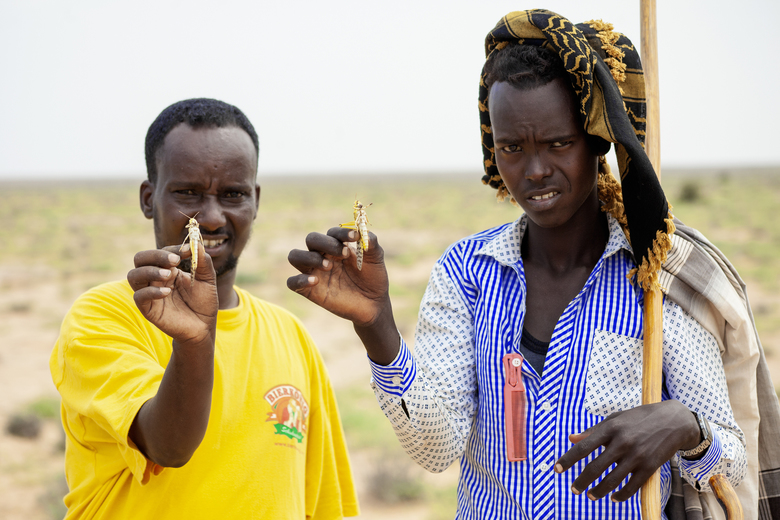 In this photo taken Sunday, Nov. 3, 2019, Mohamed Omar, left, from the Ministry of Agriculture, and farmer Abdilahi Bataax, right, hold desert locusts as they pose for a photograph on Abdilahi's farmland in Aisha Ade, in the Salal region of Somalia's semi-autonomous region of Somaliland. The most serious outbreak of desert locusts in 25 years is spreading across East Africa and posing an unprecedented threat to food security in some of the world's most vulnerable countries, authorities say, with unusual climate conditions partly to blame. (Isak Amin/FAO via AP)