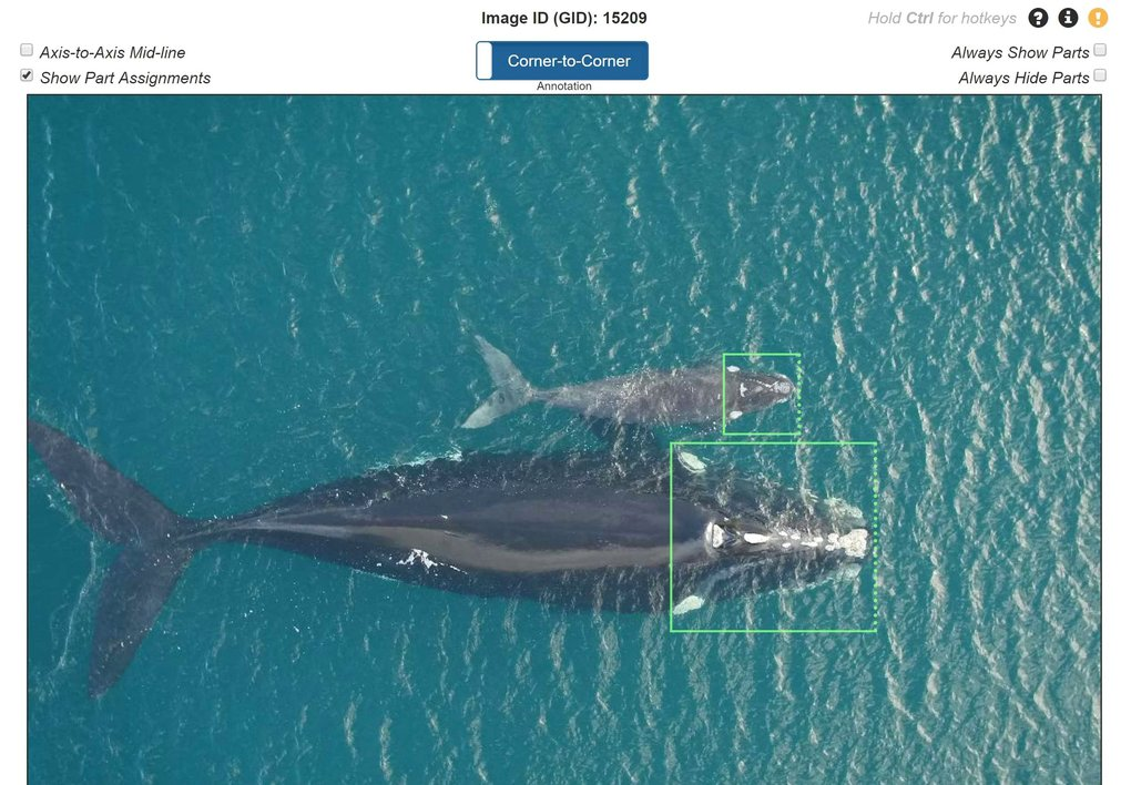 Wild Me's AI learns from human-produced training data, such as hand-drawn bounding boxes of North Atlantic right whale heads. Using about 2,000 diverse photos, the AI can learn to find animals of a species in images and videos.  (Courtesy of Wild Me)