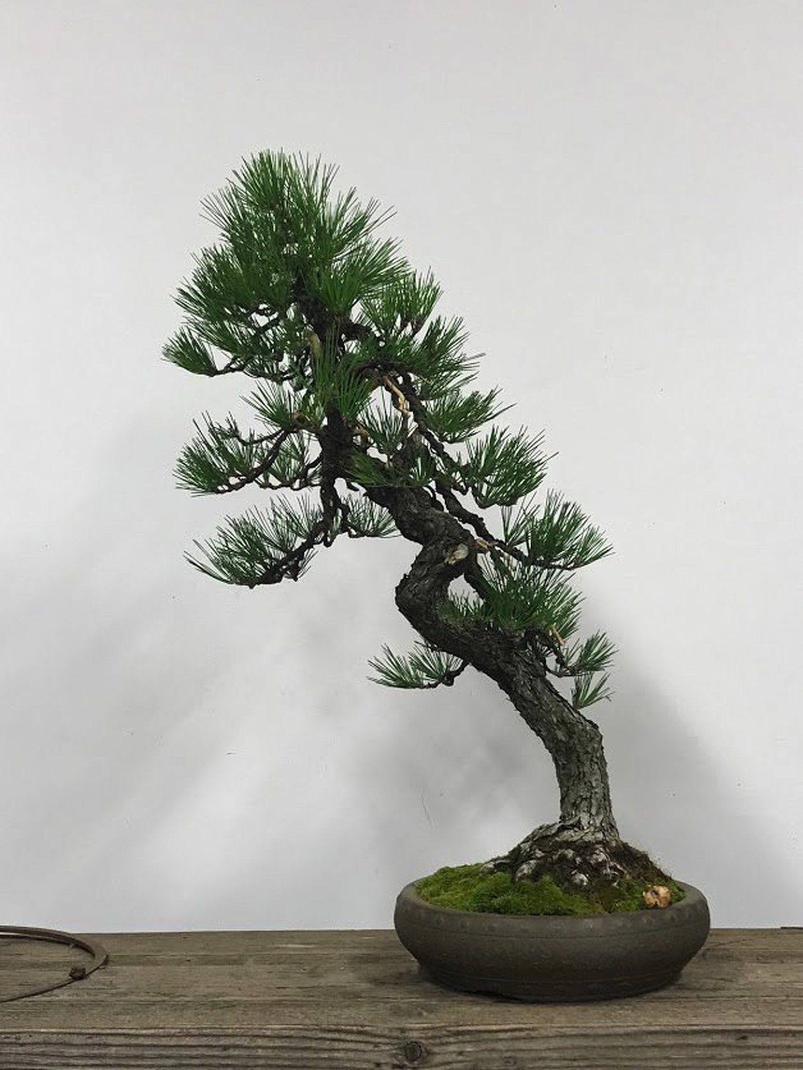 Pair Of Valuable Bonsai Trees Missing From Federal Way Museum The Seattle Times