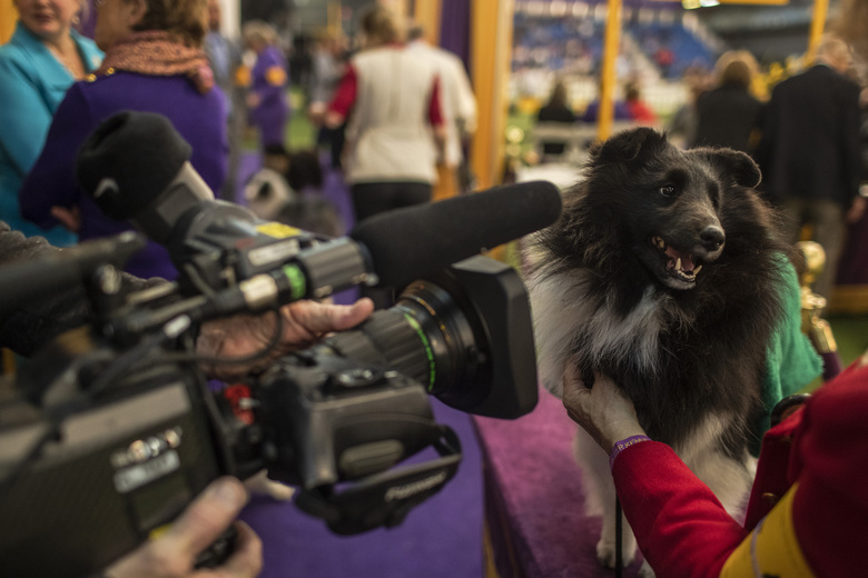 A dog competes in the obedience round at the Westminster Kennel Club dog show in New York on Feb. 9, 2020. More massage and sports medicine specialists are supporting elite canines. (Brittainy Newman/The New York Times)
