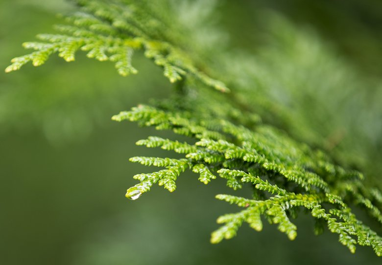 Thujopsis dolabrata, commonly called Elkhorn cedar and Deerhorn cedar, shines in several shades of green. (Mike Siegel / The Seattle Times)
