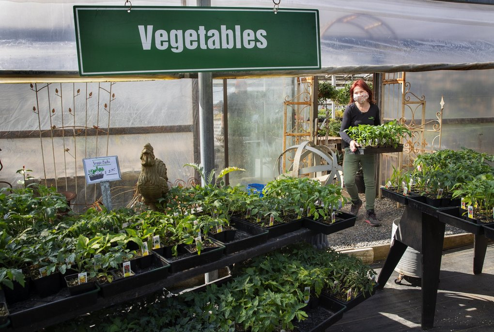 Lyn Robinson, owner of Zenith Holland Gardens in Des Moines, brings more vegetable starts to put on display in her nursery.  Zenith Holland Gardens has been open since 1907. (Ellen M. Banner / The Seattle Times)