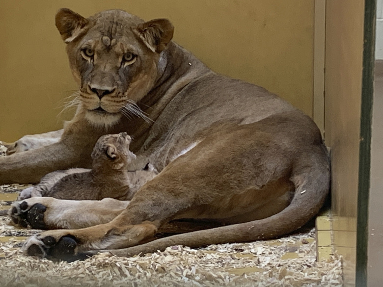 In this image provided by the  Denver Zoo, Kamara, a 4-year-old lioness, keeps watch over her cubs, who were born Thursday, April 23, in their enclosure in the Denver Zoo Tuesday, April 28, 2020. (Denver Zoo via AP)