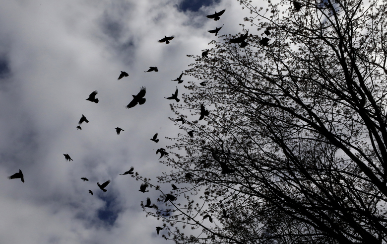 """Crows take flight from a grove of trees in Magnolia. Such groupings are popularly called """"murders,"""" not flocks. (Alan Berner / The Seattle Times)"""