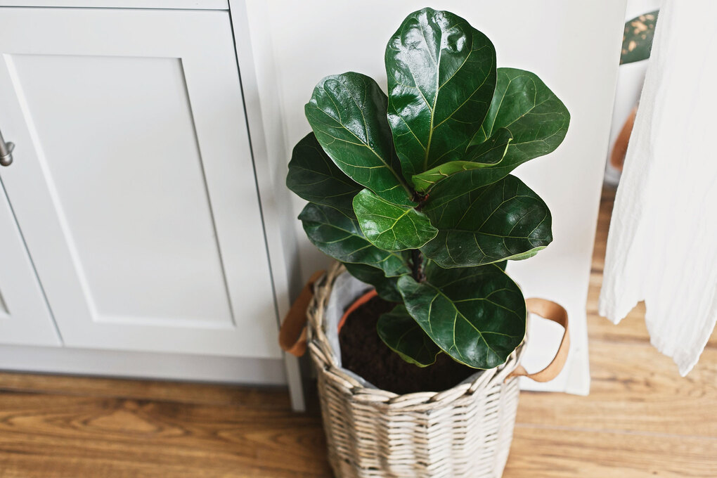 Fiddle-leaf fig (Getty Images)