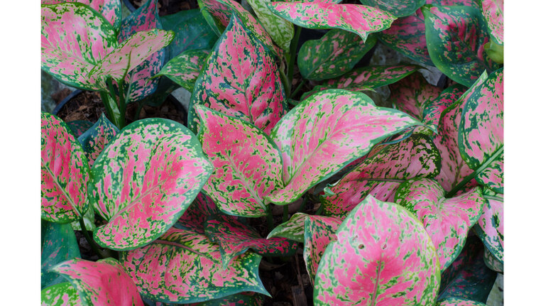Chinese evergreen red Aglaonema  (Getty Images)