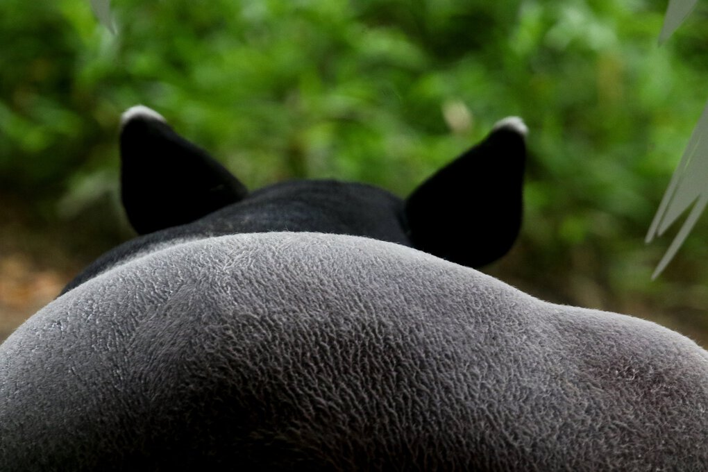 One of the most endangered animals in the Asian forest is the tapir. They're considered relatives of horses and rhinos. (Alan Berner / The Seattle Times)