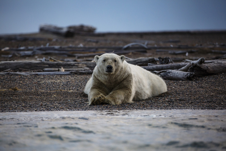A polar bear in Kaktovik, Alaska, Sept. 11, 2016. Polar bears could become nearly extinct by the end of the century as a result of shrinking sea ice in the Arctic if global warming continues unabated, scientists said Monday, July 20, 2020. (Josh Haner/The New York Times)