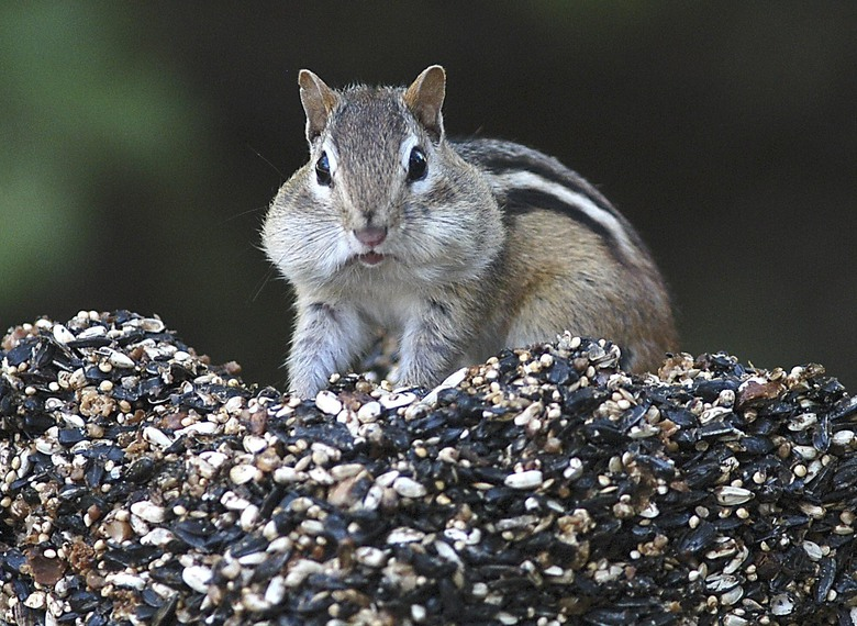 FILE – In this Oct. 6, 2005 file photo, a chipmunk stuffs his mouth with seeds and returns to his nest to store them for winter in Canterbury, N.H. There has been a spike in New England's chipmunk population during the summer of 2020. (Ken Williams/The Concord Monitor via AP, File)