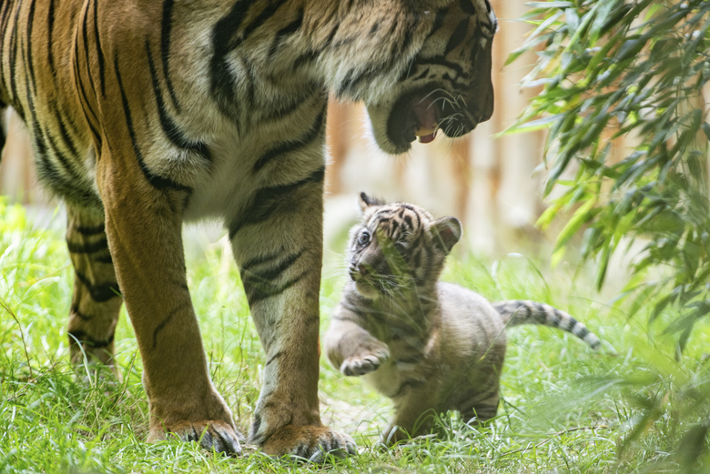 In this undated handout photo provided by the Wroclaw zoo, a little tiger plays with its mother at the zoo in Wroclaw, Poland. The 2-month-old Sumatran tiger cub is getting to know the world and learning to hunt from her mother at a zoo in southwestern Poland, the first such cub born there in 20 years. The as-yet-unnamed cub was born May 23 as her mother Nuri's first offspring and the authorities at the Wroclaw Zoo are overjoyed that the mother is taking very good care of her. (Wroclaw Zoo via AP)