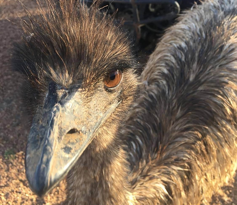 """An emu named Carol walks around behind a fence in Queensland, Australia, population 13. An Australian Outback pub has banned two emus, Carol and another, for """"bad behavior"""" after they learned to climb the stairs and created havoc inside. The two large, flightless birds were already adept at stealing food from people in a lightly populated Queensland state outpost. (Leanne Byrne via AP)"""