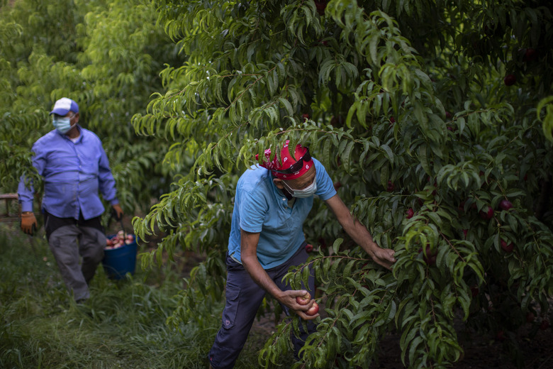 Bulgarian migrants harvest flat nectarines, most of them destined for the German market, in Fraga, Spain, Thursday, July 2, 2020. Authorities in northeast Spain have ordered the lockdown of a county around the city of Lleida due to worrying outbreaks of the COVID-19 virus. Catalan regional authorities announced Saturday, July 4, 2020 that as of noon local time movement will be restricted to and from the county of El Segriá around Lleida which is home to over 200,000 people. Residents will have until 4 p.m. to enter the area. The new outbreaks are linked to agricultural workers in the rural area.  (AP Photo/Emilio Morenatti)