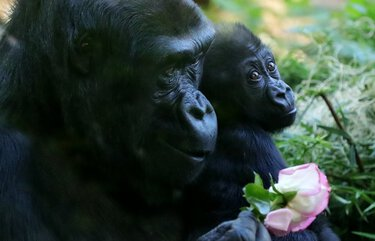 Woodland Park Zoo's Western lowland gorilla Uzumma, 12, eats rose petals as she carries her first born baby boy, Kitoko, who was born in March, 2020.  Kitoko's father is Kwamme. LO LO LO 214825