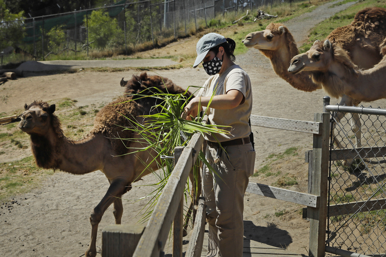 Zoo worker Alyssa Watt feeds camels at the Oakland Zoo, July 2, 2020, in Oakland, Calif. Zoos and aquariums from Florida to Alaska are struggling financially because of closures due to the coronavirus pandemic. Yet animals still need expensive care and food, meaning the closures that began in March, the start of the busiest season for most animal parks, have left many of the facilities in dire financial straits. (AP Photo/Ben Margot)