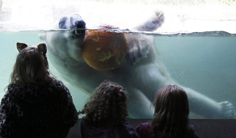 Boris put  a 1,000-pound polar bear hug on a pumpkin tossed into his pool at Point Defiance Zoo in Tacoma in 2010. Boris was born in 1985 in a German zoo and was easily identified by the bump on his nose. Boris was euthanized Tuesday. (Alan Berner / The Seattle Times)